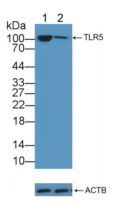 Polyclonal Antibody to Toll Like Receptor 5 (TLR5)