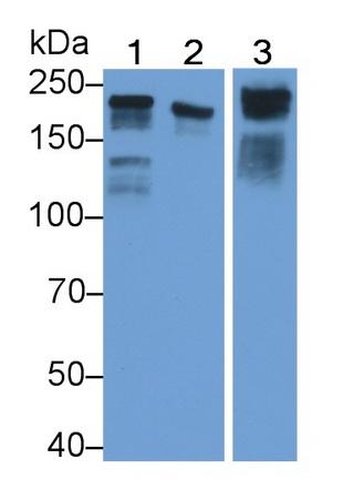 Polyclonal Antibody to Laminin Gamma 1 (LAMC1)