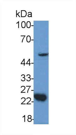 Polyclonal Antibody to Growth Differentiation Factor 11 (GDF11)