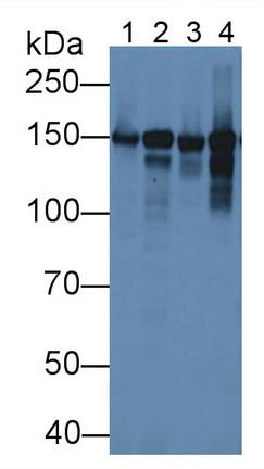 Polyclonal Antibody to Collagen Type VI Alpha 1 (COL6a1)
