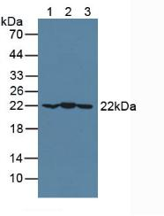 Polyclonal Antibody to Crystallin Alpha B (CRYaB)