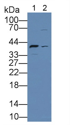 Polyclonal Antibody to Low Density Lipoprotein Receptor Related Protein Associated Protein 1 (LRPAP1)