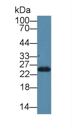 Polyclonal Antibody to Stromal Cell Derived Factor 2 Like Protein 1 (SDF2L1)