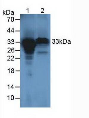Polyclonal Antibody to Holocytochrome C Synthase (HCCS)