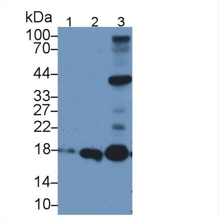 Polyclonal Antibody to Apolipoprotein O (APOO)
