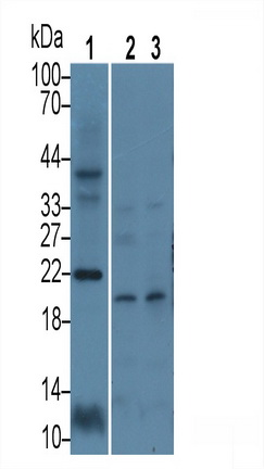 Polyclonal Antibody to Calcyon Neuron Specific Vesicular Protein (CALY)
