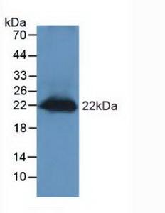Polyclonal Antibody to Regenerating Islet Derived Protein 3 Gamma (REG3g)