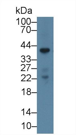 Polyclonal Antibody to Annexin A1 (ANXA1)