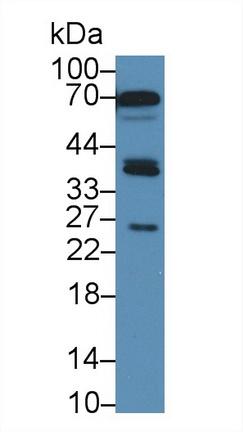 Polyclonal Antibody to Sirtuin 4 (SIRT4)