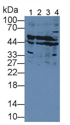 Polyclonal Antibody to Selenium Binding Protein 1 (SELENBP1)
