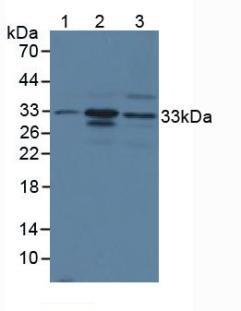 Polyclonal Antibody to Chymase 1, Mast Cell (CMA1)