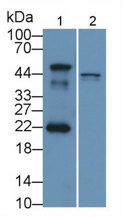 Polyclonal Antibody to Mdm2 p53 Binding Protein Homolog (MDM2)