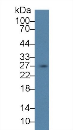 Polyclonal Antibody to Secretagogin (SCGN)