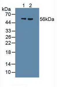 Polyclonal Antibody to Uromodulin (UMOD)