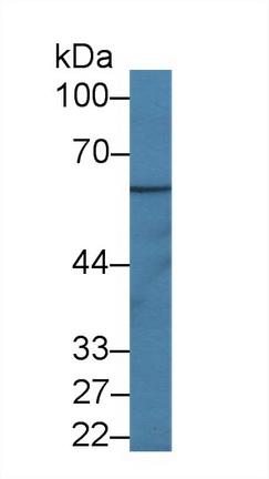 Polyclonal Antibody to Interleukin 1 Receptor Accessory Protein (IL1RAP)