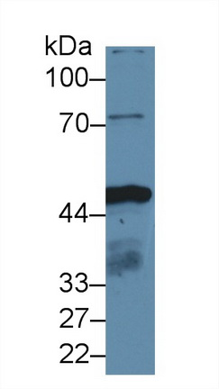 Polyclonal Antibody to Isocitrate Dehydrogenase 1, Soluble (IDH1)