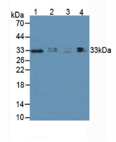 Polyclonal Antibody to Hepatitis A Virus Cellular Receptor 2 (HAVCR2)