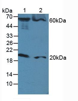 Polyclonal Antibody to Fas Associating Death Domain Containing Protein (FADD)