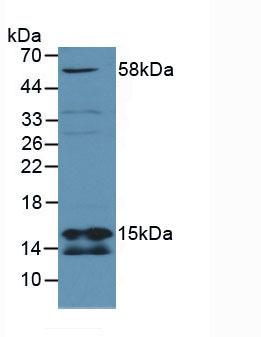 Polyclonal Antibody to Succinate Dehydrogenase Complex Subunit D (SDHD)