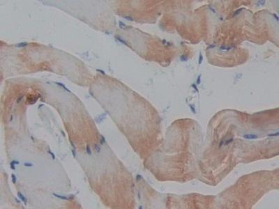 Polyclonal Antibody to Regenerating Islet Derived Protein 3 Beta (REG3b)