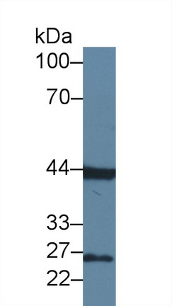 Polyclonal Antibody to Fibroblast Growth Factor 15 (FGF15)