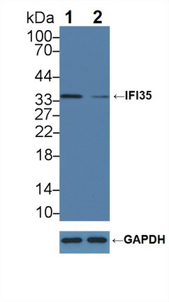 Polyclonal Antibody to Interferon Inducible Protein 35 (IFI35)